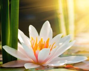 Lotus_flower_0a