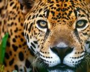 felino-sud-america