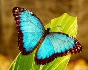 farfalla Thea